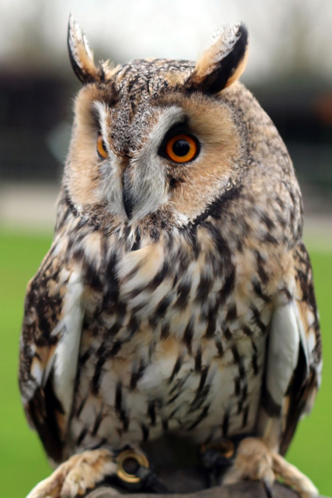 long eared owl - Picture Of Owl