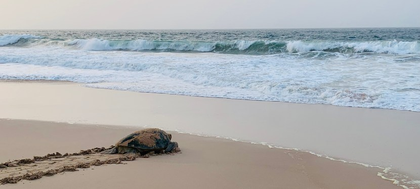 Turtle discovery – spending a night on the eco reserve in Ras al Jinz, Oman