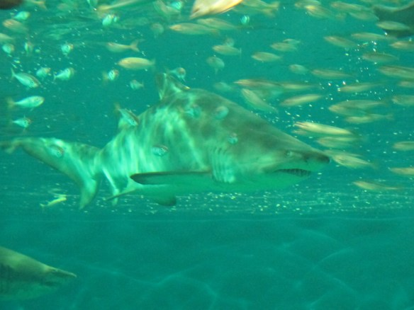 A bull shark in the massive Oceanarium.