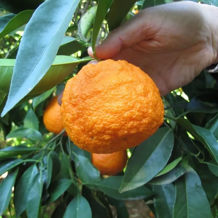 A Seville orange: for Delia, the knobblier the better.