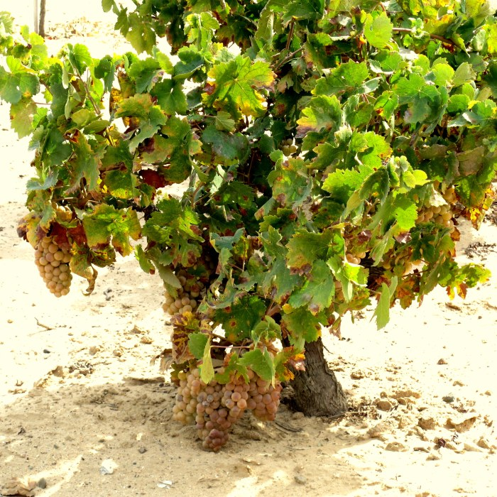 Vines heavy with grapes in the Andrade vineyards, Condado de Huelva.