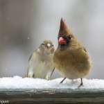 Photobombed Female Cardinal in the snow