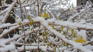 Forsythia Covered in Snow