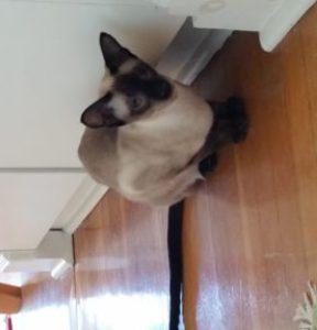 Siamese kitten, dark points