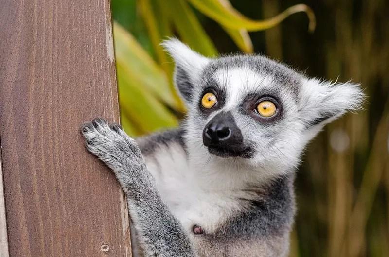 Madagascar Lemur.