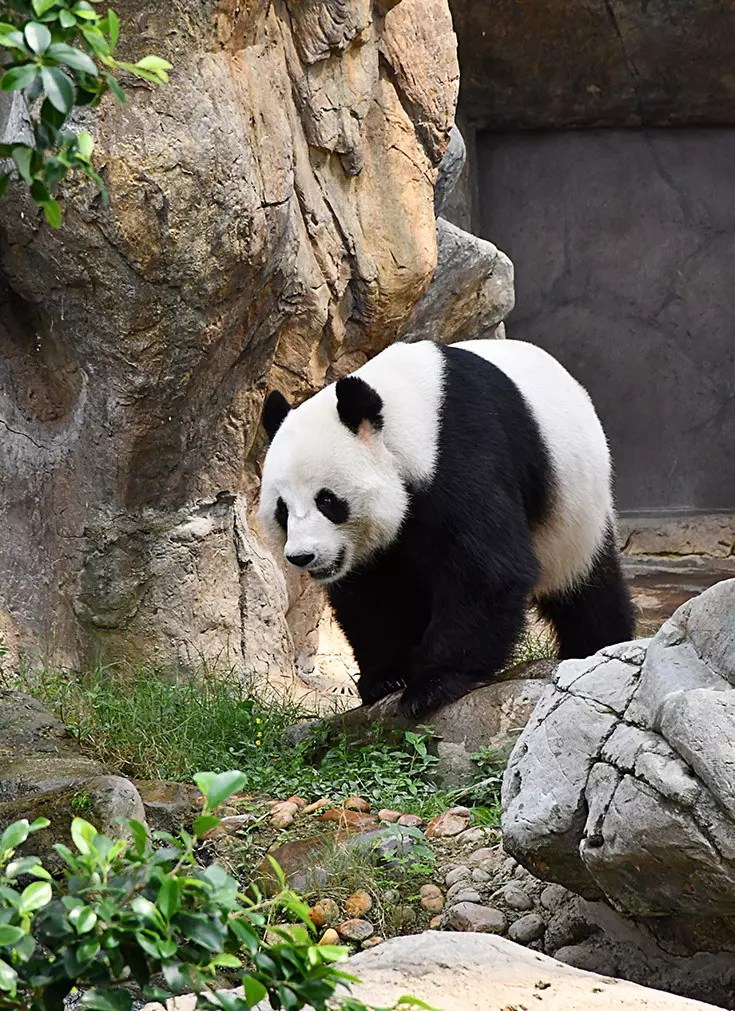Ocean Park Hong Kong - Giant Pandas