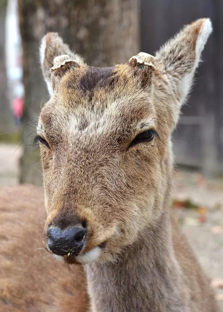 Irritated Miyajima Deer.