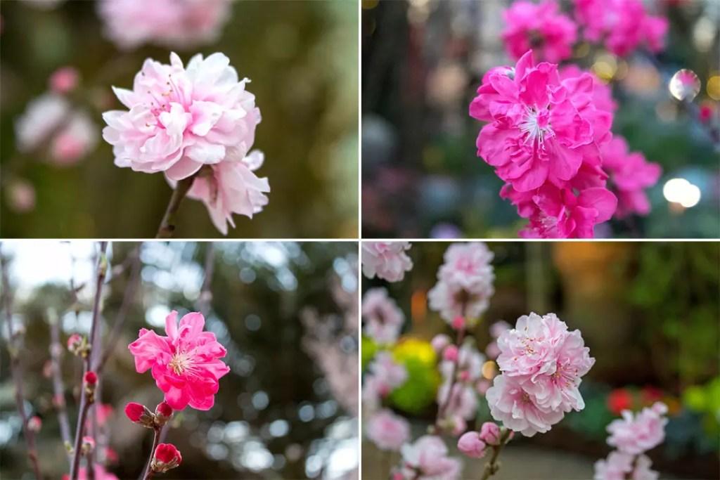 Sakura in Singapore.