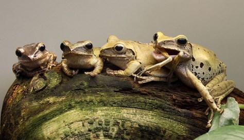 Des Polypedates leucomystax au Jardin zoologique de Stuttgart (Allemagne). La grenouille à droite a un congénère dans sa bouche, le cannibalisme est fréquent chez cette espèce.