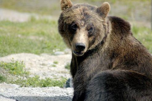 brown_bear_ursus_arctos_1