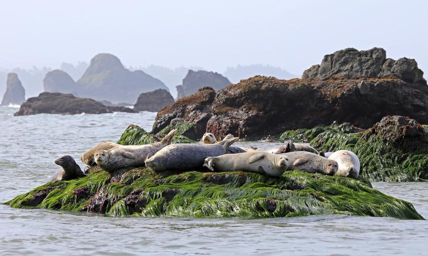 seals_resting_rock_ocean