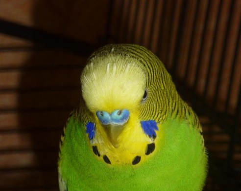 budgie_bird_animal_green