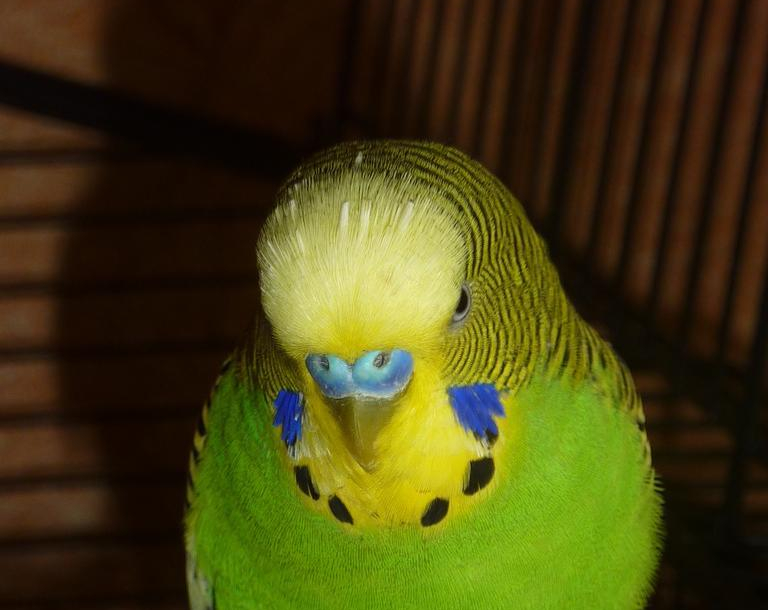 budgie_bird_animal_green