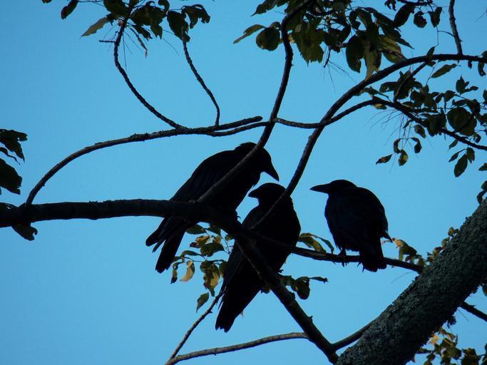 crow_crows_blackbird_blackbirds