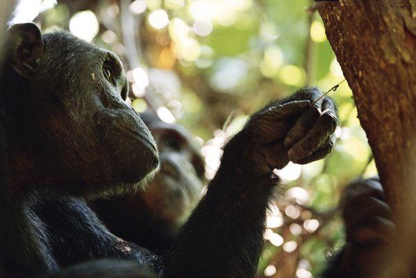 Photo of რამდენად ჭკვიანები არიან მაიმუნები?