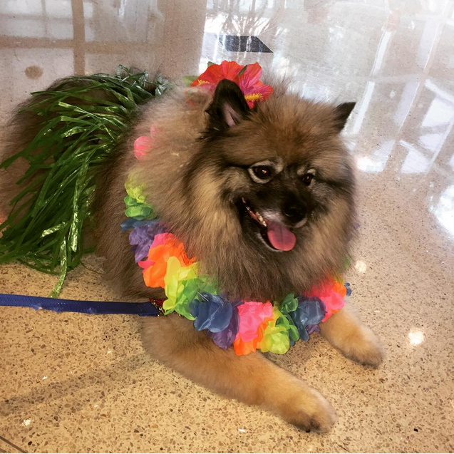 Animal assisted therapy dog dressed in summer best