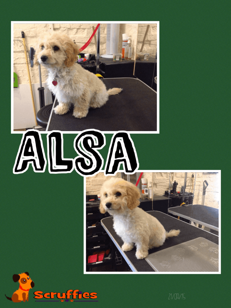 Scruffies Before & After Grooming Collage