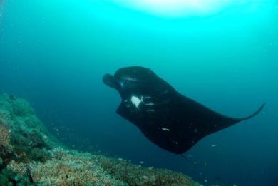 Manta ray in Fiji