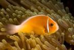 Matava Anenomie Fish 2