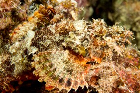 Scorpionfish by Nick Hobgood