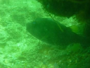 Pufferfish hiding under a rock