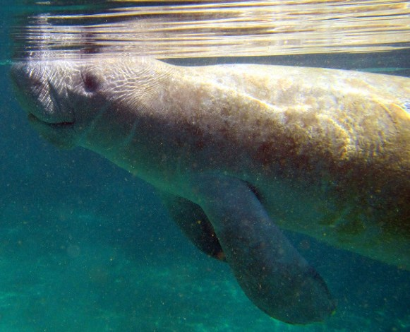 Manatee near surface