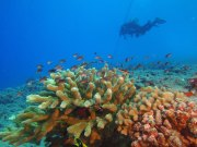 Coral reefs are often called the rainforests of the sea. They support a wide variety of marine life while comprising only a small area of the ocean. With vast number of species living within and around them, they are regarded as the world's most diverse marine habitat. (Photo credit: Ray Boland/NOAA)