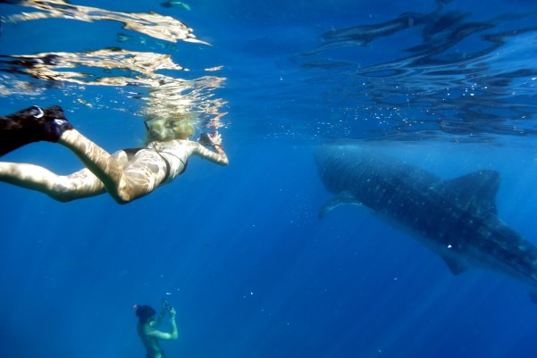 whale sharks and others
