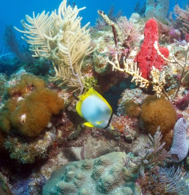 Bursts of color are a common sight in Florida Keys National Marine Sanctuary, as corals, gorgonians, sponges, fish and other marine species cluster in the sanctuary's barrier reef. Here, a spotfin butterflyfish flits through the reef's menagerie of colors. (Photo credit: Bill Goodwin/NOAA)