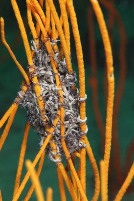 The lives of Gray's Reef inhabitants are closely intertwined, like this basket star holding onto a gorgonian. (Photo: Greg McFall/NOAA)
