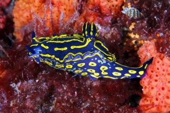 "Colorful little creatures abound in Gray's Reef, like this regal sea goddess nudibranch. The nudibranch's name means ""naked gills,"" referring to the bright, feathery gills that most have on their backs. (Photo: Greg McFall/NOAA)"