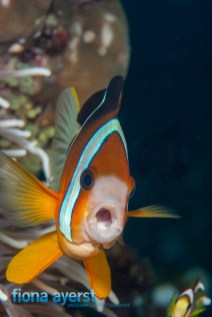 Clownfish can be aggressive and protective over their eggs and host anemone.