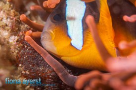 Clownfish tend to their eggs, aerating them to help them grow and prevent diseases.