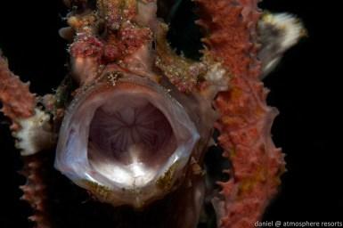Clown-Frogfish-by-Daniel-Geary