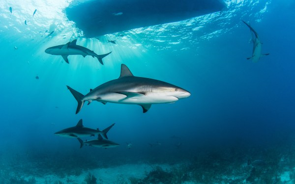Shark diving in the bahamas