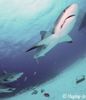 AWARE Shark Speciality