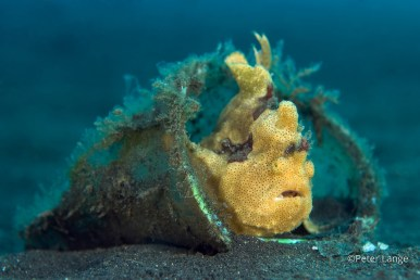 Although the seafloor is littered with refuse at Lembeh, some animals, such as this frogfish, have made the best of it, using discarded items for shelter.