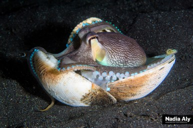 The ubiquitous coconut octopus is thusly named because it uses coconut shells for cover as it moves across the black sands.