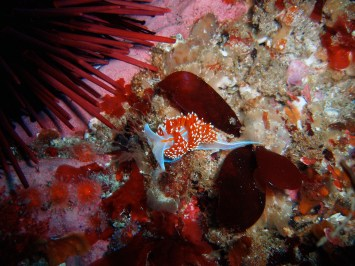 Look closely at the seafloor and you might spot something tiny and bright, like this Hermissenda nudibranch. (Photo credit: Claire Fackler/NOAA)