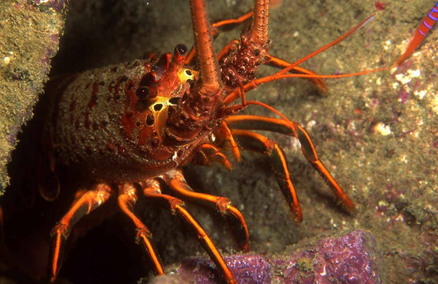 California Spiny Lobsters