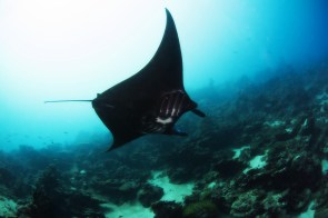 Pohnpei manta ray© Julie Hartup, Micronesian Conservation Coalition