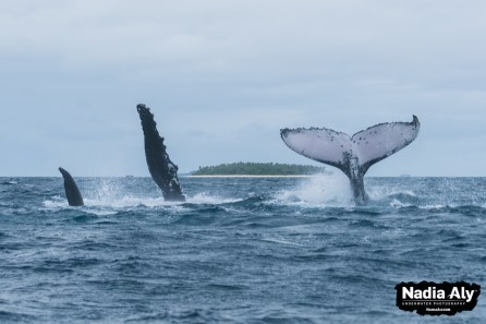 Two adult humpback whales, playing in the waters off Vava'u, Tonga. You can often find them playing, pecking and tail slapping.