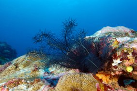 From crinoids to crustaceans, more than 1,400 species of invertebrates live in National Marine Sanctuary of American Samoa. (Photo: Greg McFall/NOAA)