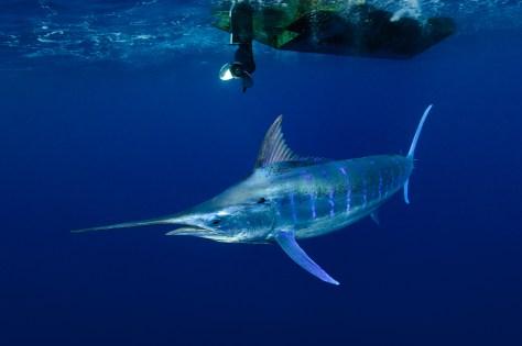 Blue marlin in Tonga