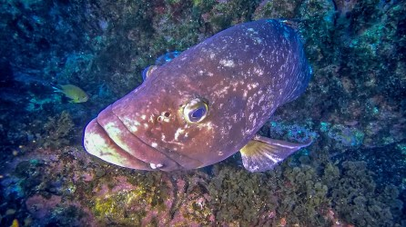 3_One of the island's famed dusky grouper_Jeronimo