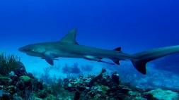 Reef-shark-2_web