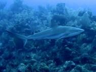 Reef-shark-(3)_web