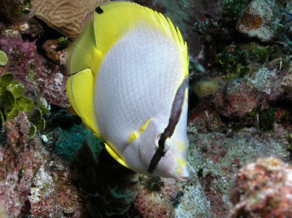 Fish ID - Butterfly Fish