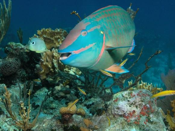 Fish ID - Parrotfish