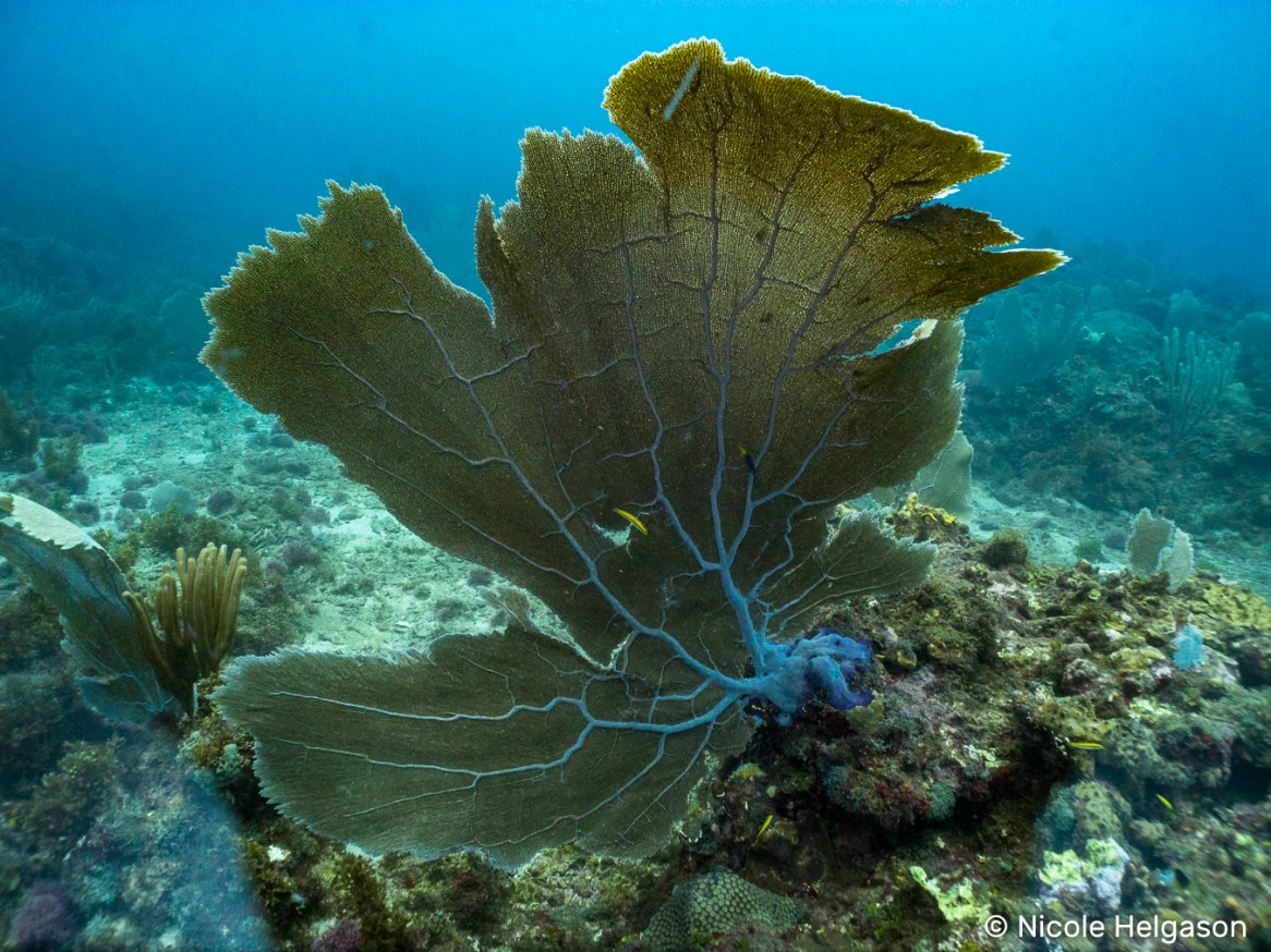 Perhaps the most recognizable soft coral, you can find sea fans while snorkeling and scuba diving.